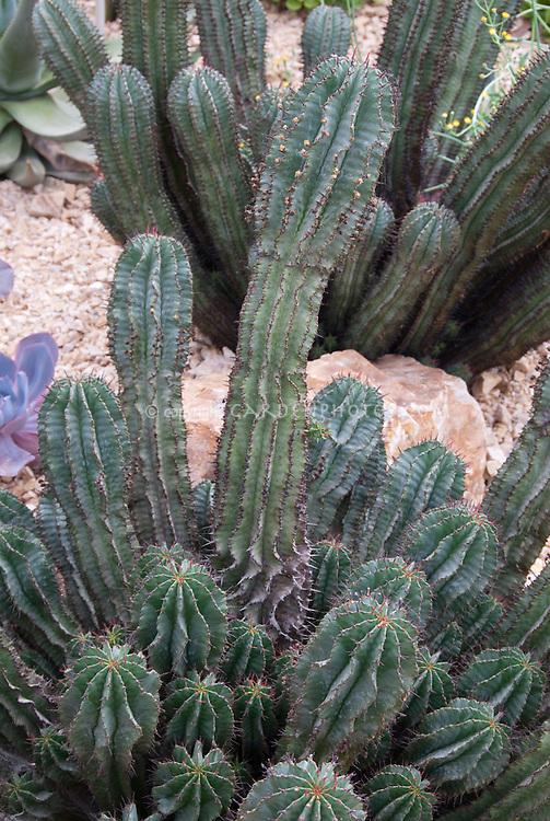 African Milk Barrel Cactus Euphorbia horrida