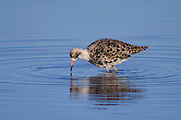 Ruff, Philomachus pugnax, male moulting, National Park Lake Neusiedl, Burgenland, Austria, April 2007