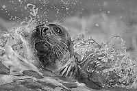 A grey seal in the surf
