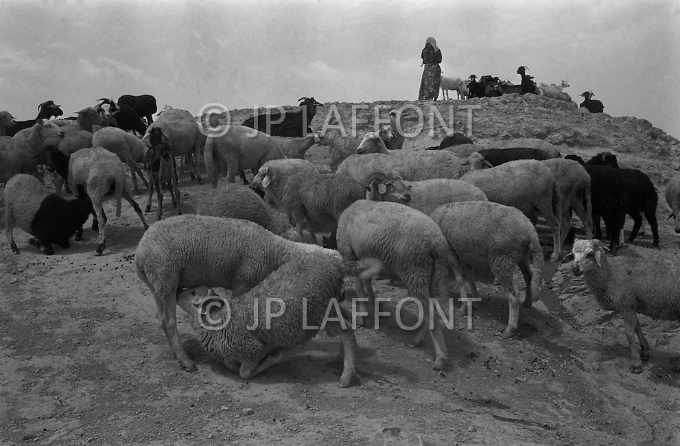 Mascara Area, Algeria, Summer 1961. Typical French Fort for a small harka unit. The main business in this area are the sheep. They sell the dong as fertilizer to orange farmer. During the very dry season the adults are milking each other.