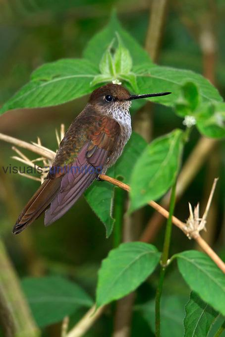 Bronzy Inca (Coeligena coeligena), Ecuador.