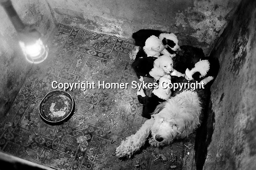 Puppy Farming Wales 1989. An Old English Sheepdog and her litter.<br />