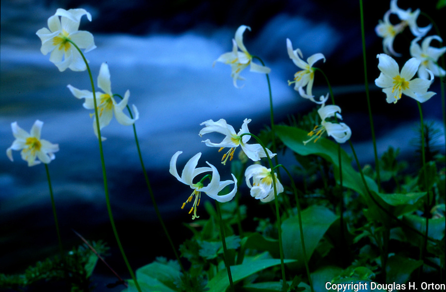 Killen Creek flows behind Avalanche Lilies just two days after snow melt.