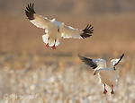 Snow Geese (Chen caerulescens) two flying in to land, backlit, Bosque Del Apache National Wildlife Refuge, New Mexico.