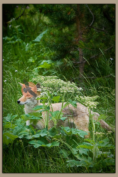 Buff colored coyote standing in wildflowers in Wyoming