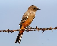 Adult Say's phoebe