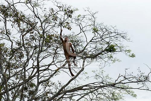Xingu Indigenous Park, Mato Grosso State, Brazil. Aldeia Boa Esperanca (Trumai). Boy jumping from a tree into the river, laughing.