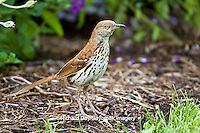 01403-00906 Brown Thrasher (Toxostoma rufum) feeding on ground Marion Co., IL