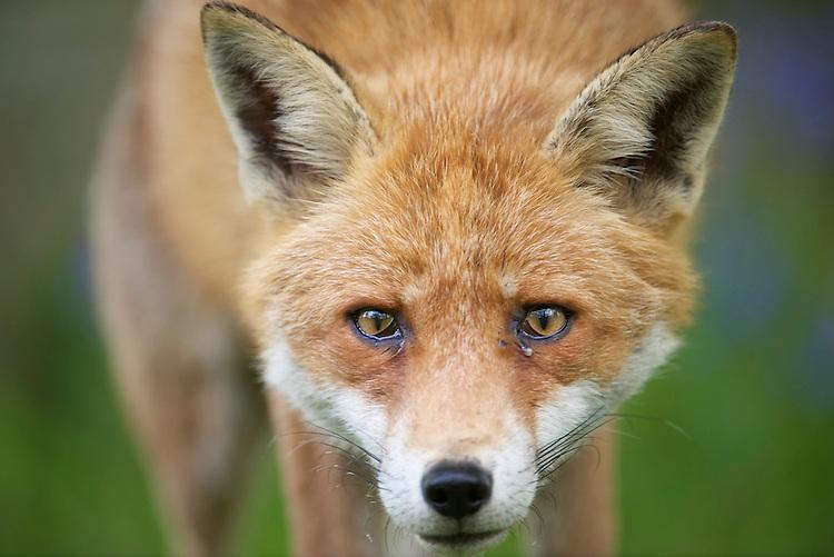 An urban living Red fox (Vulpes vulpes)