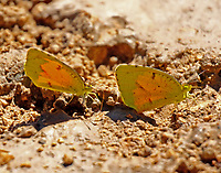 Sleepy orange butterflies muding