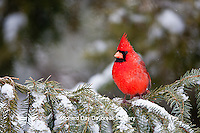 01530-21006 Northern Cardinal (Cardinalis cardinalis) male in spruce tree in winter, Marion Co., IL