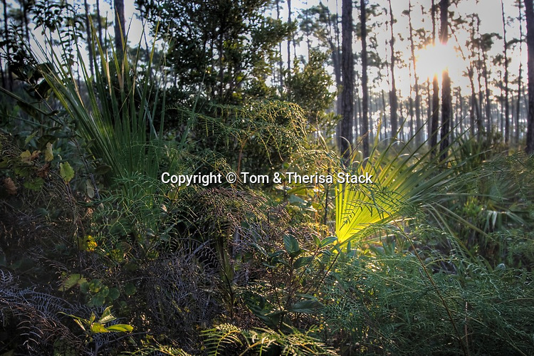 Daybreak, Slash Pine forest, Everglades National Park, Florida