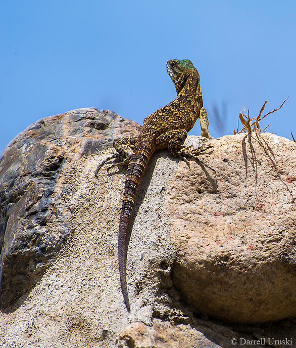Wildlife Photograph of a Lizard perched upon a rocky knoll and framed against a cloudless blue sky in La Cruz de Huanacaxtle Mexico.