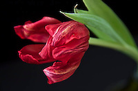 faded red tulip