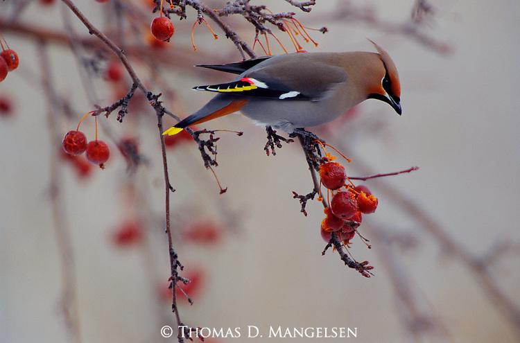 The Harvest - Bohemain Waxwing (Bombycilla garrulus) Jackson, WY..#PRINT-2668.00