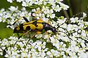 Spotted Longhorn Beetle (Strangalia maculata) feeding on umbellifer flowers. Devon, UK. June.