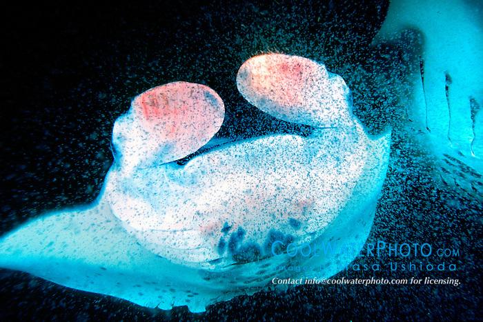 reef manta rays or coastal mantas, feeding on plankton at night, Manta alfredi, Kona Coast, Big Island, Hawaii, USA, Pacific Ocean