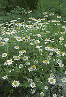 CORN CHAMOMILE Anthemis arvensis (Asteraceae) Height to 50cm. Pleasantly aromatic annual with downy stems. Grows on cultivated, calcareous ground. FLOWERS in solitary heads with yellow disc florets and white ray florets (Jun-Jul). Scales present between disc florets. FRUITS are achenes. LEAVES much-divided; lobes broader than in other mayweeds, and downy below. STATUS-Locally common in S only.