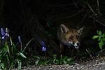 Red fox (Vulpes vulpes) coming through a gap in the fence in a Bedfordshire garden. UK