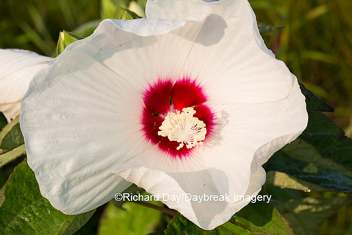 63899-05318 Rose Mallow (Hibiscus lasiocarpos)) in wetland, Marion Co., IL