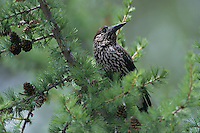 Spotted Nutcracker, Nucifraga caryocatactes, adult, Wallis, Switzerland, May 1998