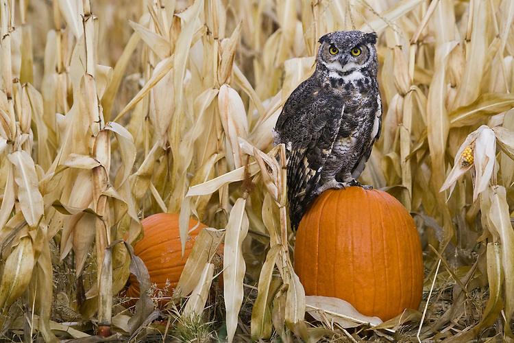 Great-horned Owl (bubo virginianus) perched on a pumpkin at the edge of a corn field near Denver, Colorado, USA