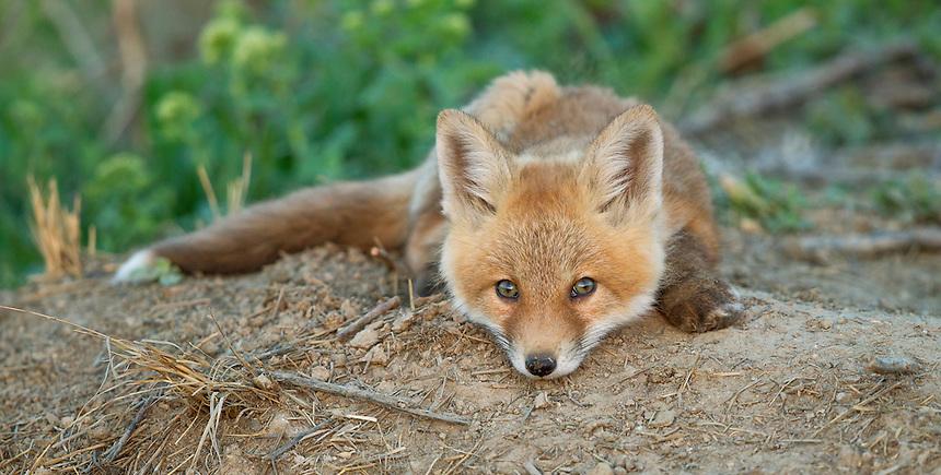 Red Fox<br /> Vulpes vulpes<br /> Northern Utah