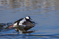 Bufflehead duck drake (Bucephala albeola) taking flight.  Klamath Basin, Oregon-California border.  Late winter.