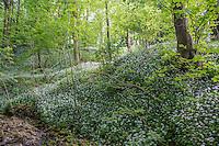 Wild garlick, Ransoms, Allium ursinum in Porter Wood, Whitewell, Lancashire.