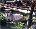 GRAY WOLF<br /> WEST YELLOWSTONE, MONTANA