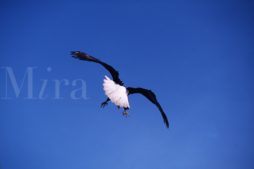 A Bald eagle (Haliaeetus leucocephalus)flashes turn-tail in departure flight.