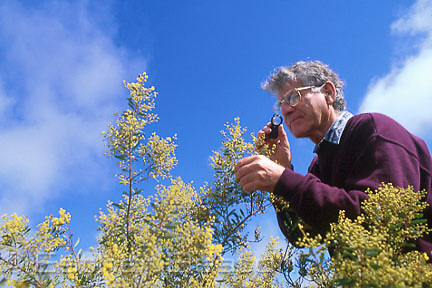 Botanist studying Pretty Wattle (Acacia decora) near West Wyalong, New South Wales.