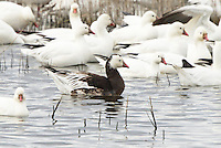 A rare dark morph Ross's goose swims among a group of white ones.<br />