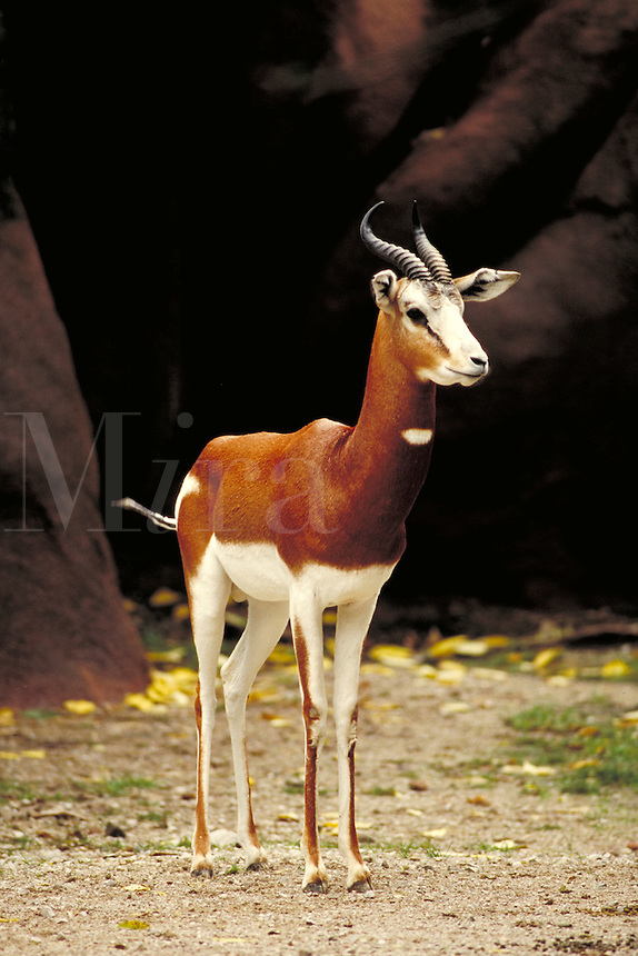 Mhorr's gazelle male in zoo stands with head up and looking forward; 3 4 right view. St. Louis Missouri.