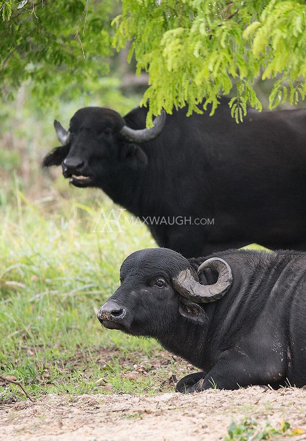 Feral water buffalo may be the Pantanal's most dangerous mammal.