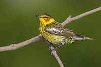 Cape May Warbler - Dendroica tigrina - Adult male