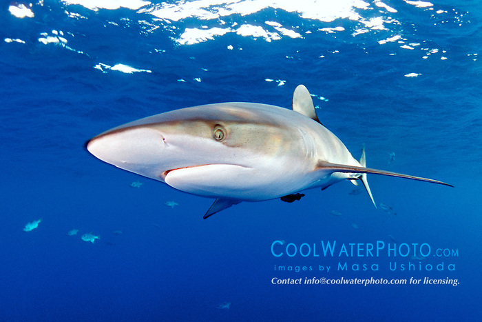silky shark, .Carcharhinus falciformis, .Hawaii (Pacific)