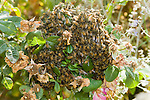 SWARM OF HONEY BEES, APIS MELLIFERA, IN ROSE BUSH