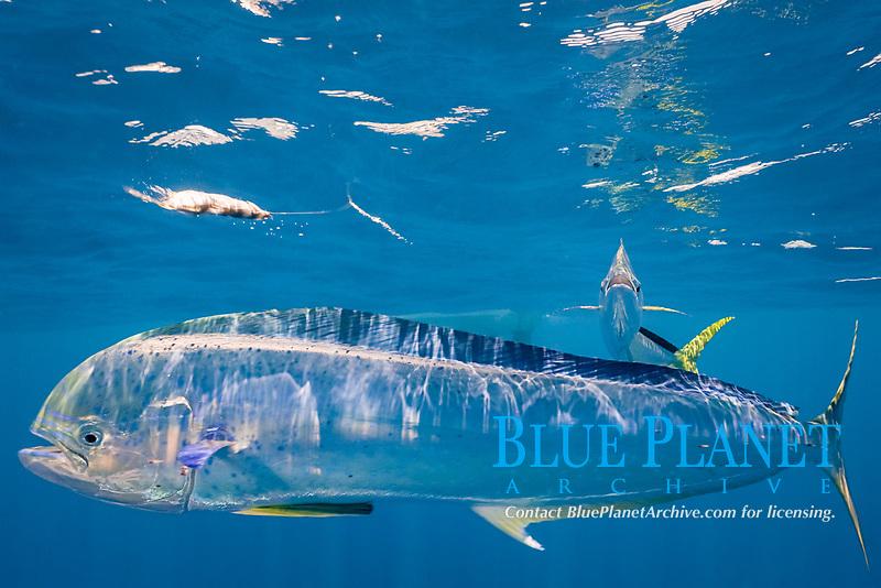 dorado, mahi mahi, or dolphin fish, Coryphaena hippurus, with small parasites clinging to skin, chasing teaser bait, off Isla Mujeres, near Cancun, Yucatan Peninsula, Mexico (Caribbean Sea)