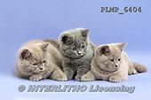 Marek, ANIMALS, REALISTISCHE TIERE, ANIMALES REALISTICOS, cats, photos+++++,PLMP6404,#a#