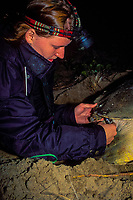 U. Queensland grad. student Jannie Bech Sperling uses wrench to remove electronic data logger (time/depth recorder) from carapace of Australian flatback sea turtle, Natator depressus, Curtis Is., Qld., Australia