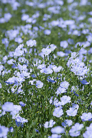 26.5.2020 Linseed flowering in South Lincolnshire <br /> ©Tim Scrivener Photographer 07850 303986<br />      ....Covering Agriculture In The UK....