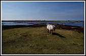 Wild pony, Loch Skiport, South Uist .... Picture by Donald MacLeod