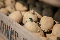 Chitted seed potatoes - Lincolnshire, April
