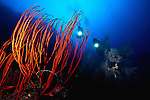 East Indonesia, Raja Ampat,  found on reef slope, Leptogorgia virgulata, commonly known as the sea whip or colorful sea whip, is a species of soft coral in the family Plexauridae