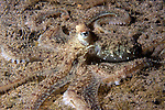 Octopus, Dominica