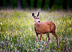 Doe in a meadow in Cherry Creek State Park, Denver, CO