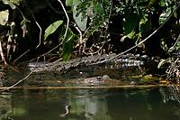 Morelet's crocodile, Belize, Caribbean, Atlantic crocodile, or Central American crocodile, Crocodylus moreletii, Cabbage Hole Creek, Stann Creek District, Belize, Caribbean, Atlantic, Central America, Caribbean, Atlantic