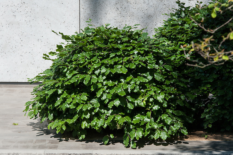 Clipped mound of Common beech (Fagus sylvatica), The Laurent-Perrier Garden, gold medal and best show garden winner at the Chelsea Flower Show, 2014. Designed by Luciano Giubbilei.