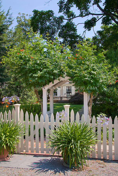 Entrance Garden with Campsis radicans Trumpet Creeper vine on arbor trellis, picket fence, blue sky in garden, Agapanthus bulbs in blue flower in pot container garden